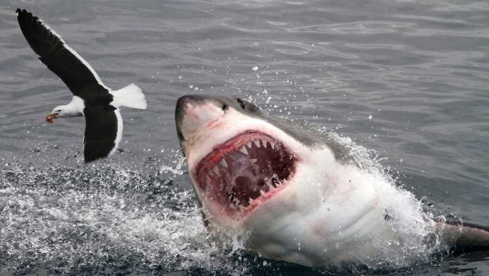 Sharks can Smell Blood in Water